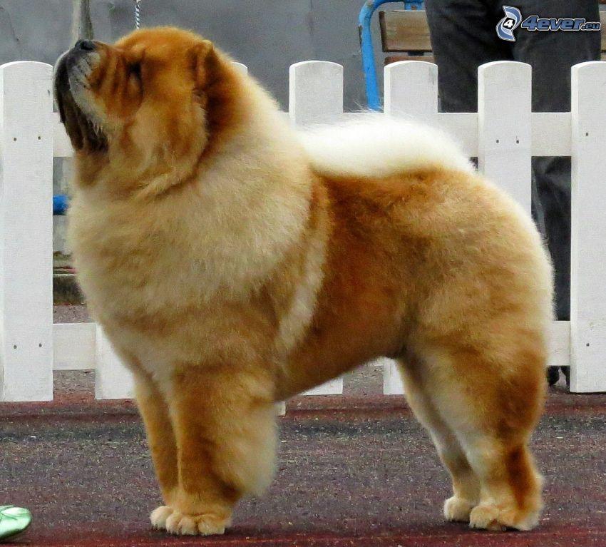 chow-chow hund, räcke