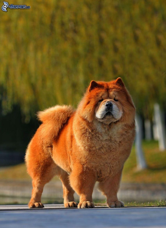 chow-chow hund