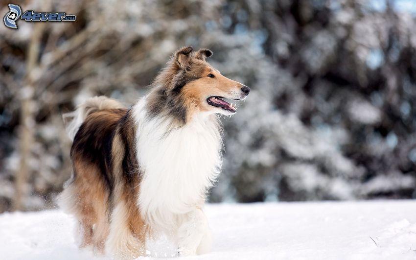 collie, snö