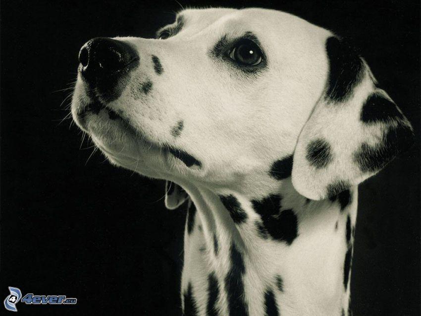 dalmatin, huvud