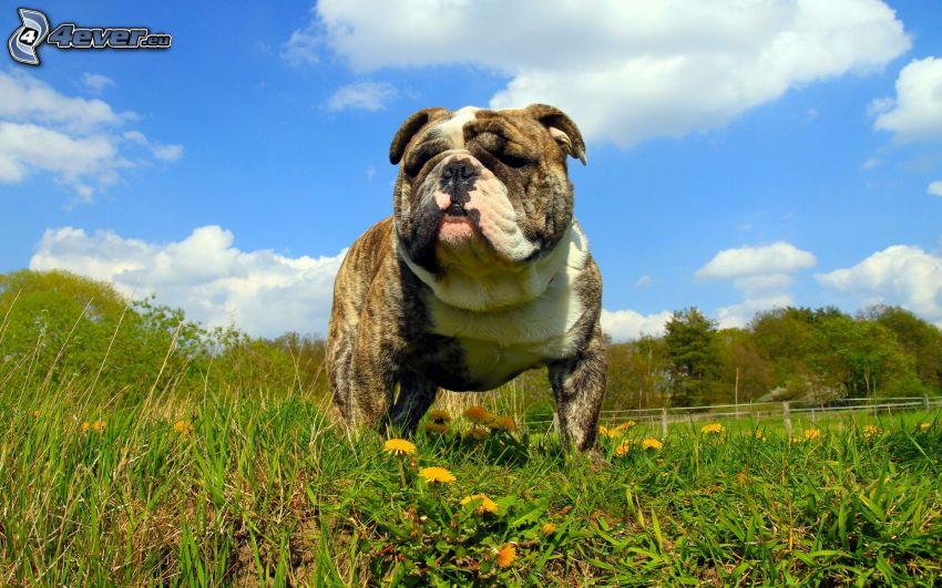 Engelsk bulldogg, maskrosor, grönt gräs