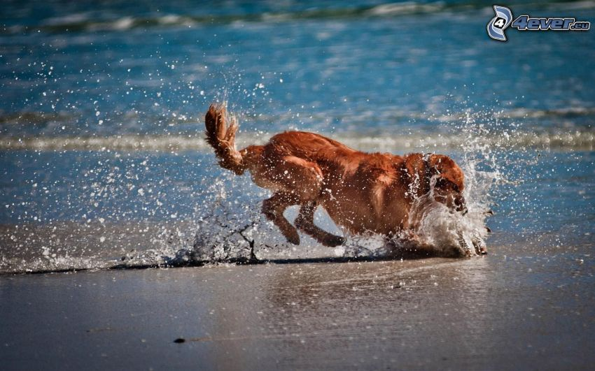 golden retriever, jakt, vatten