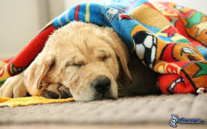 golden retriever, sömn, filt