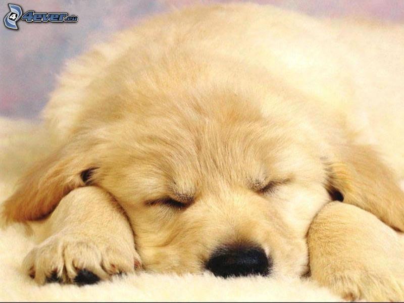 golden retriever, sovande valp