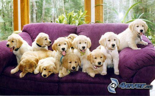Golden Retriever valpar, soffa