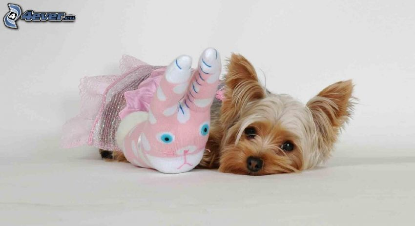 hårig Yorkshire Terrier, leksak