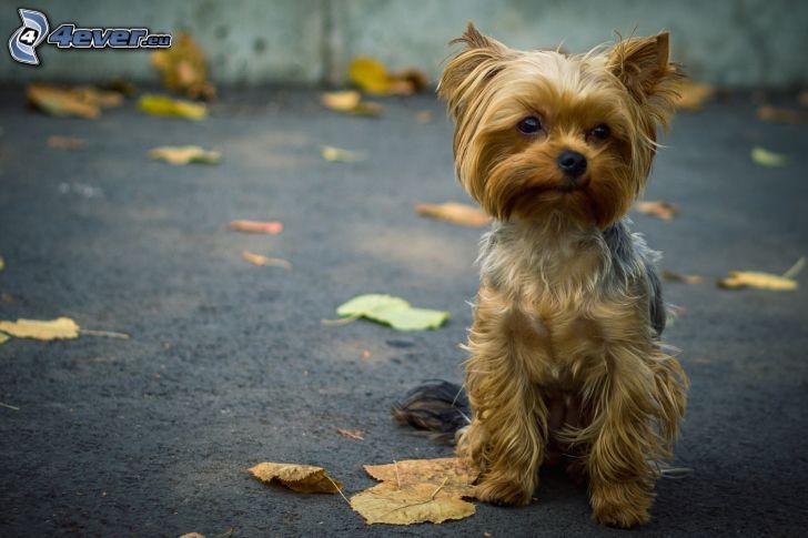 hårig Yorkshire Terrier, löv