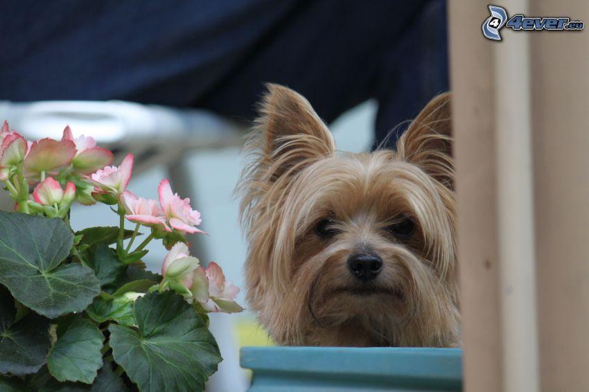 hårig Yorkshire Terrier, muskot