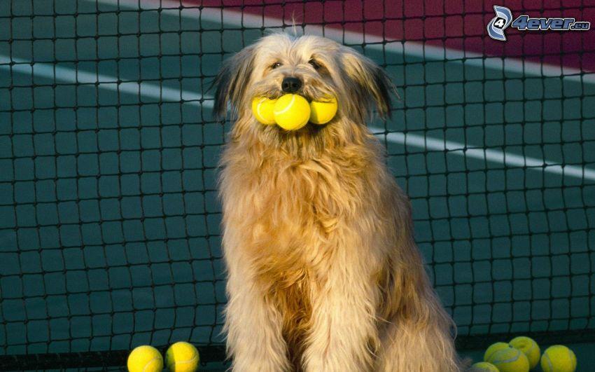 hund, bollar, nät