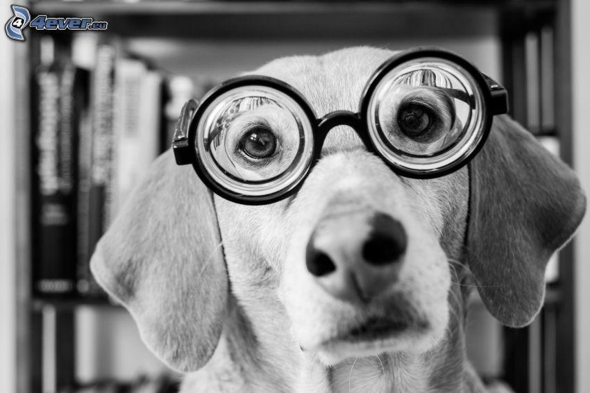 hund, glasögon, hundblick, svartvitt foto
