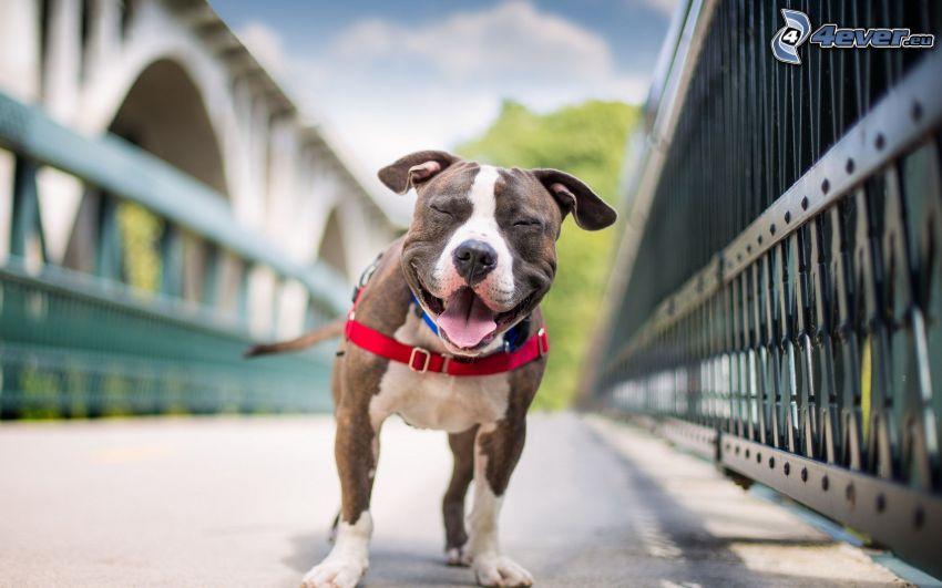 hund, leende, järnbro