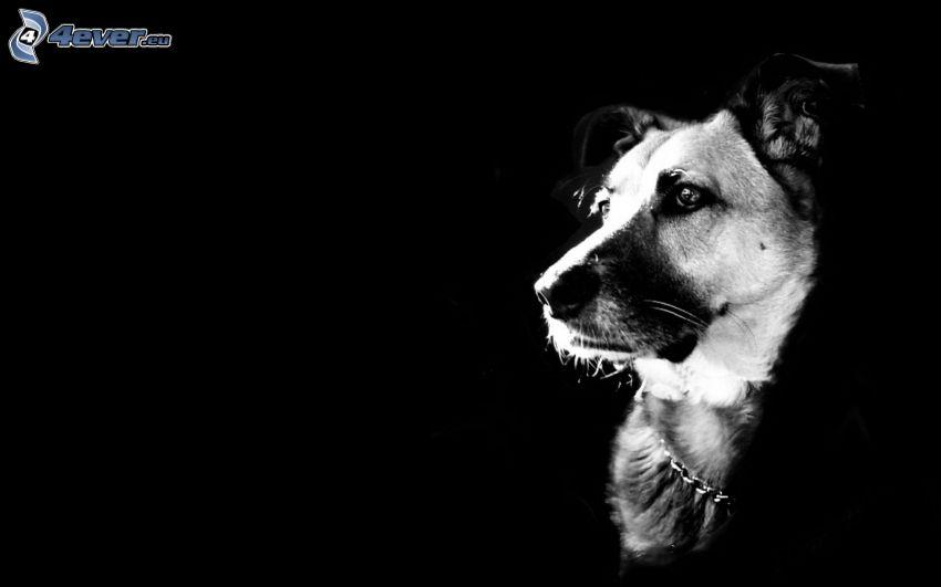 hund, svart bakgrund
