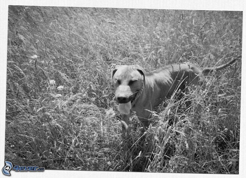 hund i gräs, äng, räcka ut tungan