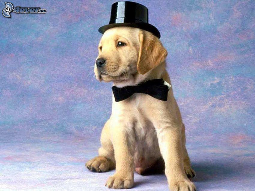 hund i hatt, fluga