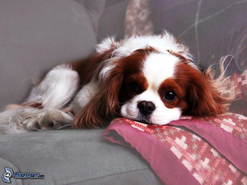 hund i soffa