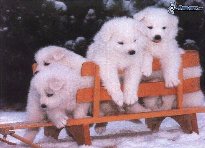 hundar, bänk