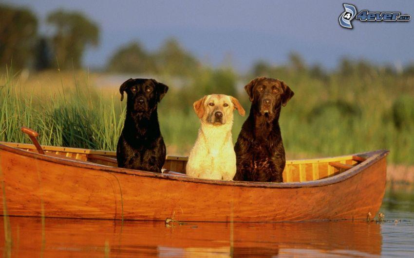 hundar, båt, vatten