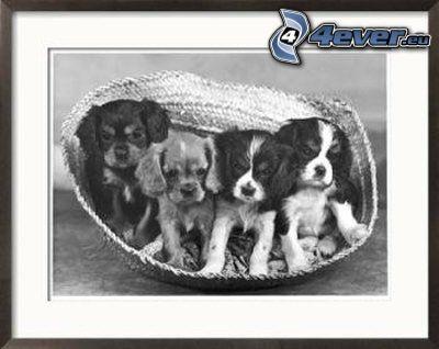 hundar, bild