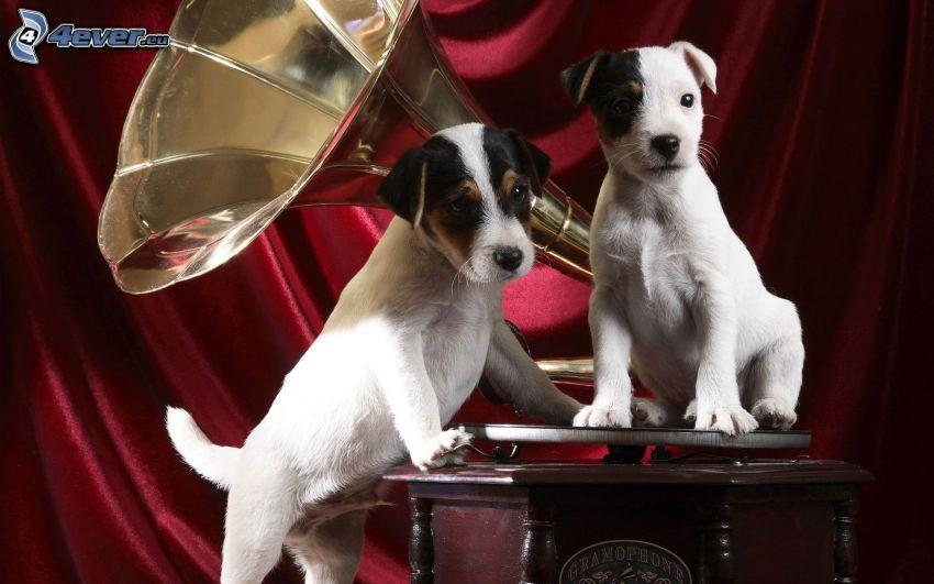 hundar, grammofon