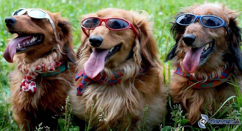 hundar, solglasögon