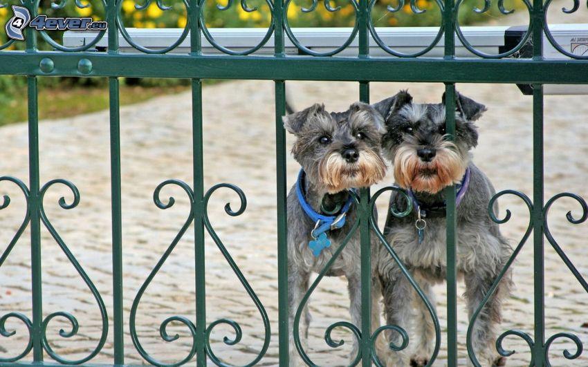 hundar, staket