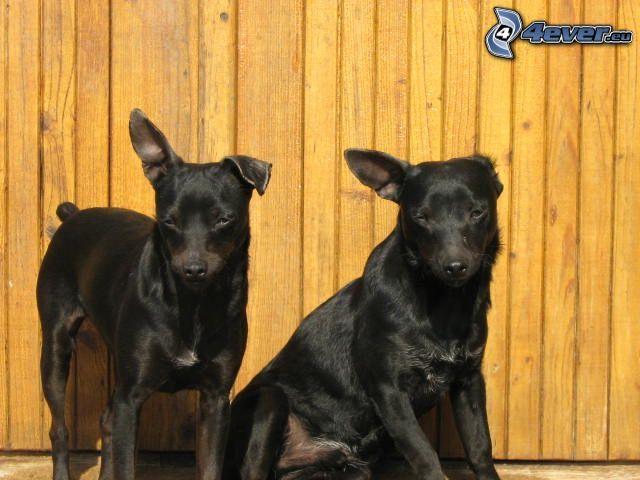 hundar, svart hund