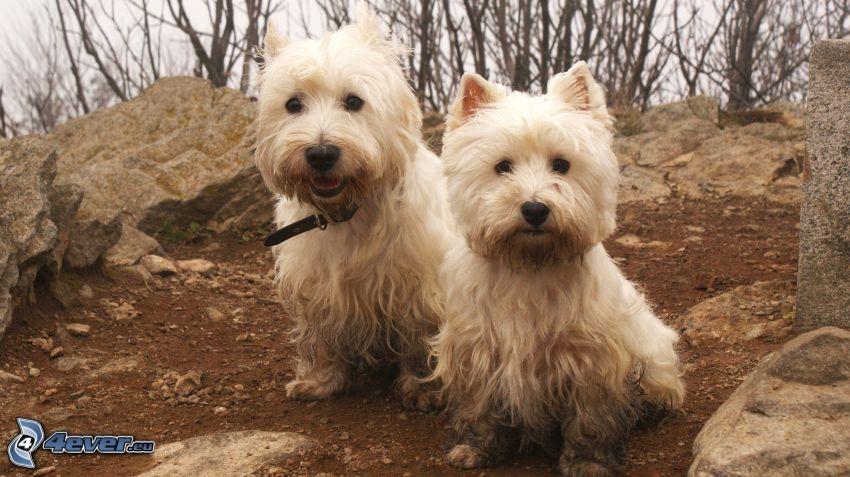 hundar, West Highland Terrier