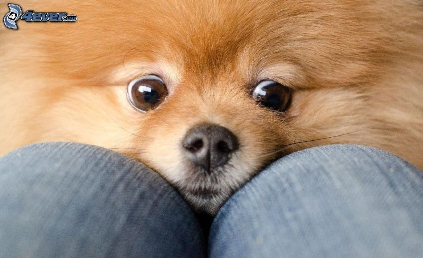 hundblick, brun hund, ben