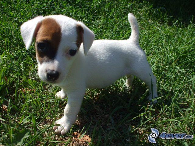 Jack Russell Terrier, valp