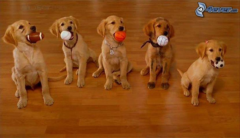 Labrador, hundar, familj