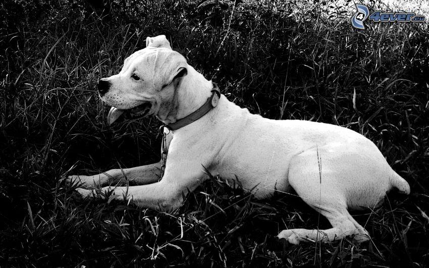 Labrador, svartvitt foto