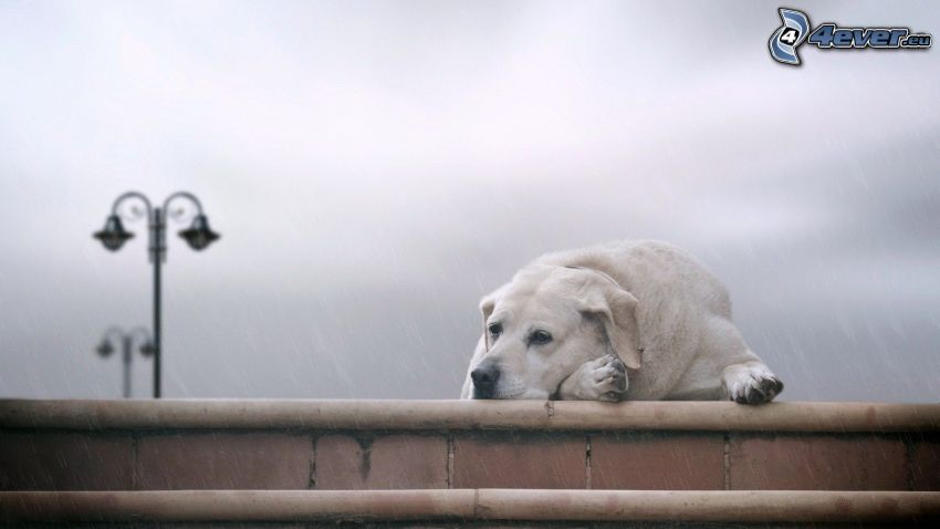 Labrador, vila, gatlykta