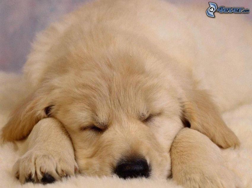 labradorvalp, sovande valp, filt, vila