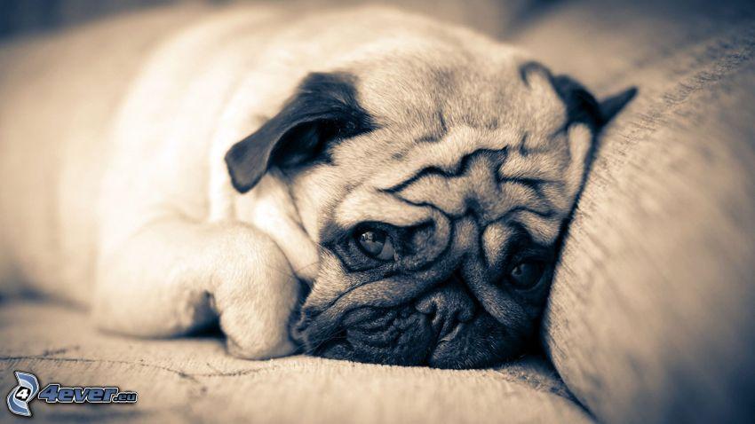 mops, ledsen hund