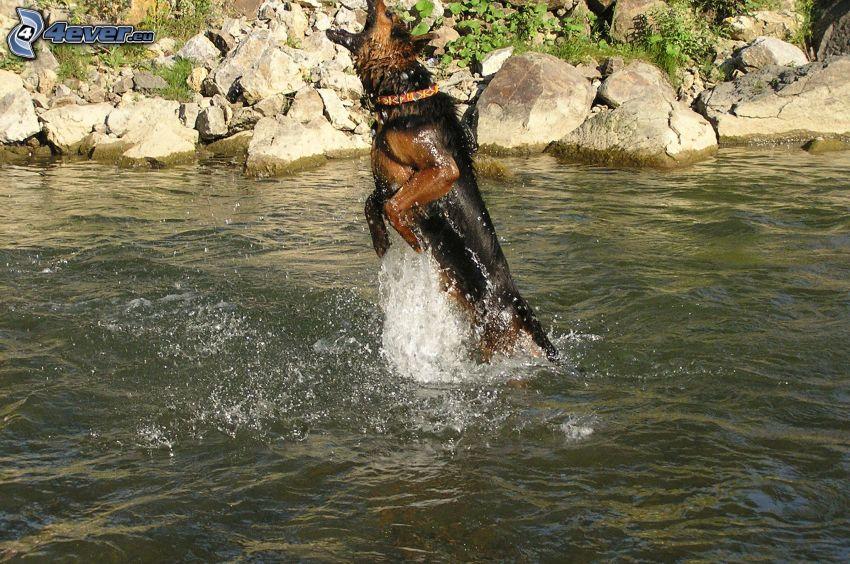 schäfer, hund i vatten, bäck