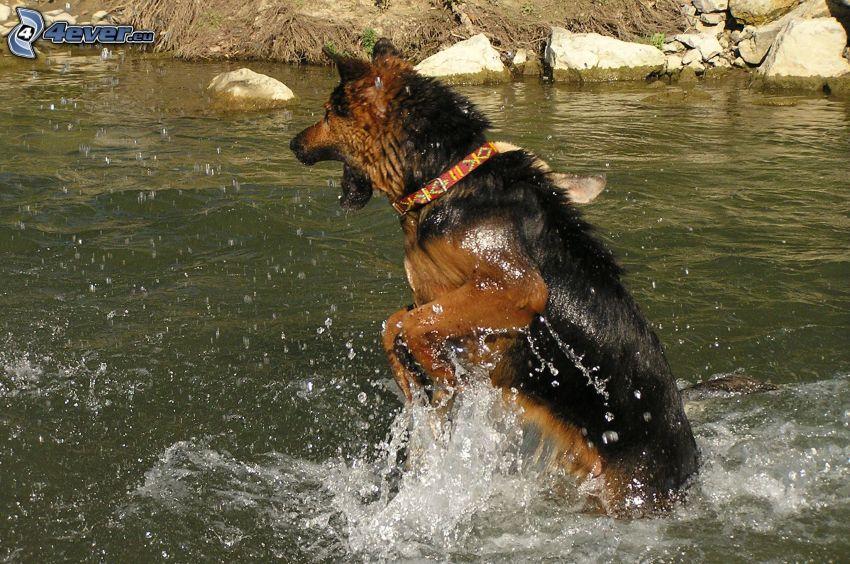 schäfer, hund i vatten