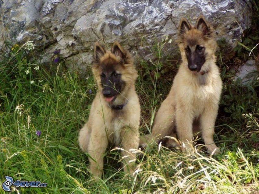 schäfervalp, belgisk vallhund, gräs, klippa