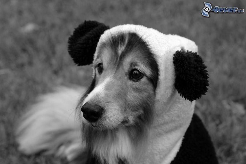 Sheltie, öron, svartvitt foto, uppklädd hund