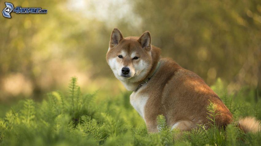 Shiba-inu, högt gräs