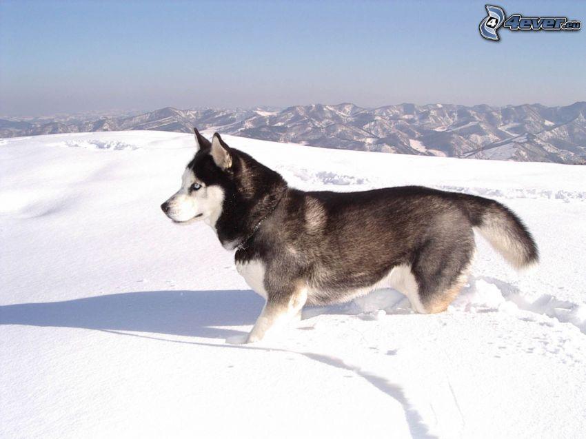 Siberian Husky, snö, utsikt, berg