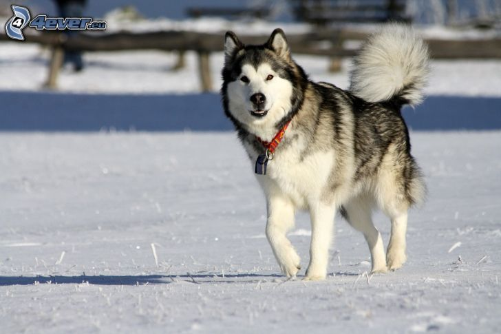Siberian Husky, snö