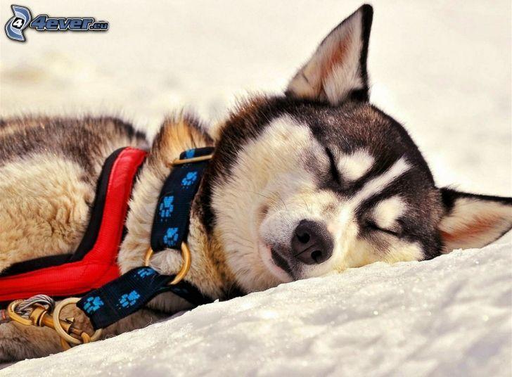 Siberian Husky, sovande hund, snö