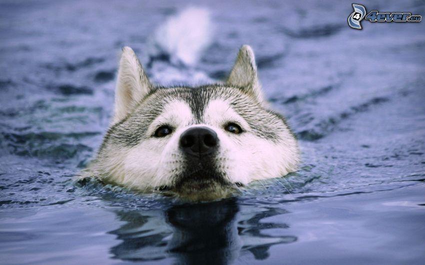 Siberian Husky, vatten, simning