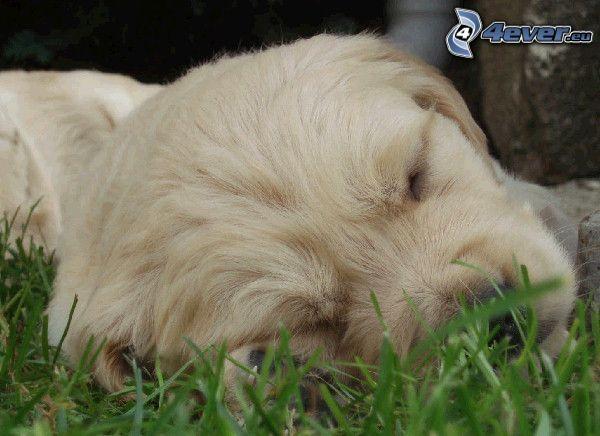 sovande valp, golden retriever