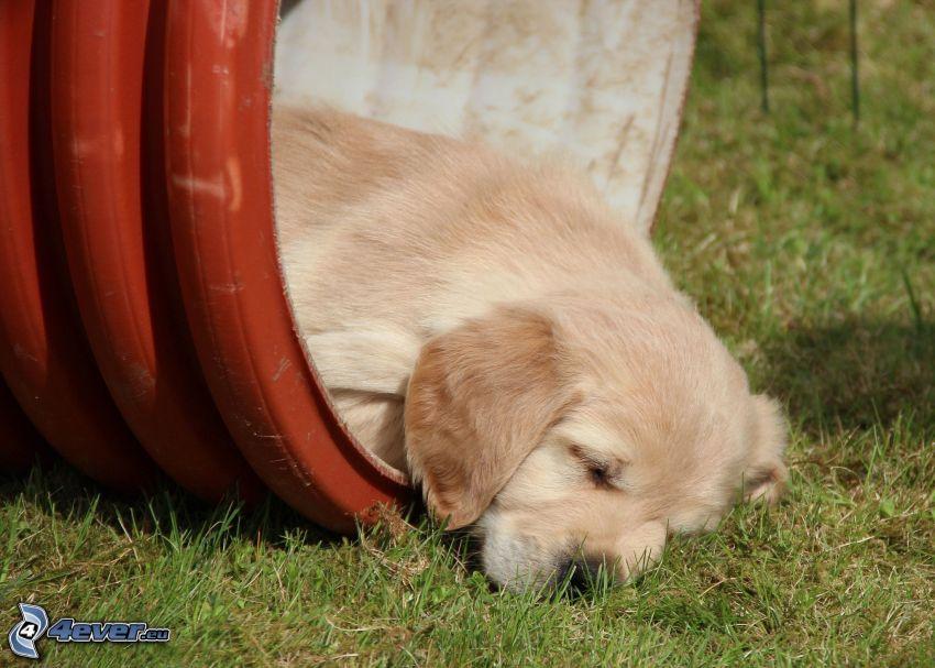 sovande valp, Labrador