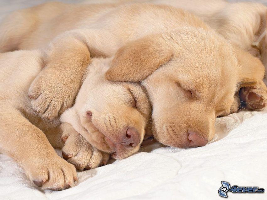 sovande valpar, Labrador