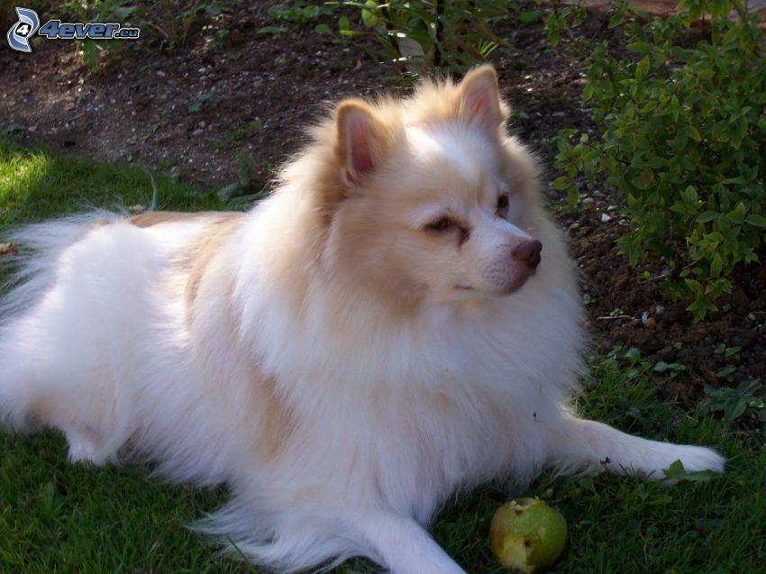 spitz, äpple