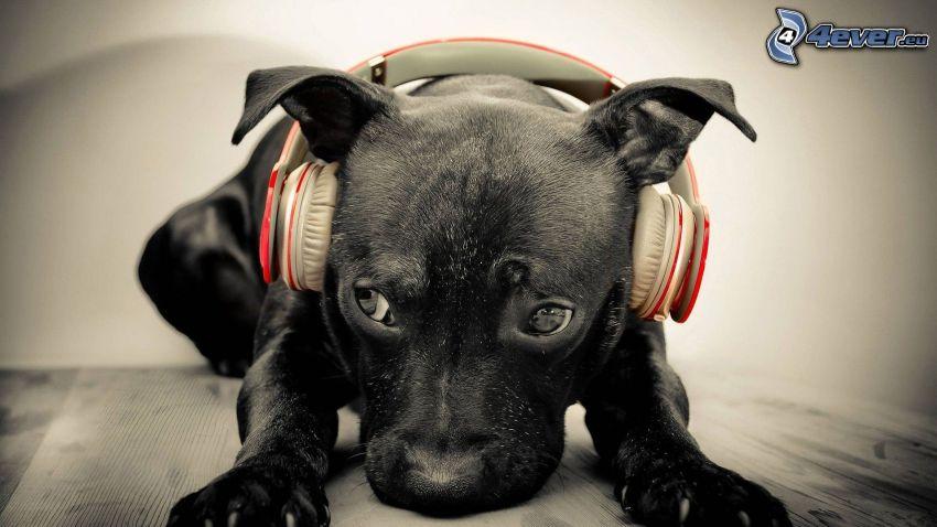 svart hund, hörlurar