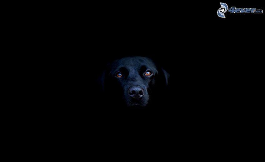 svart hund, huvud