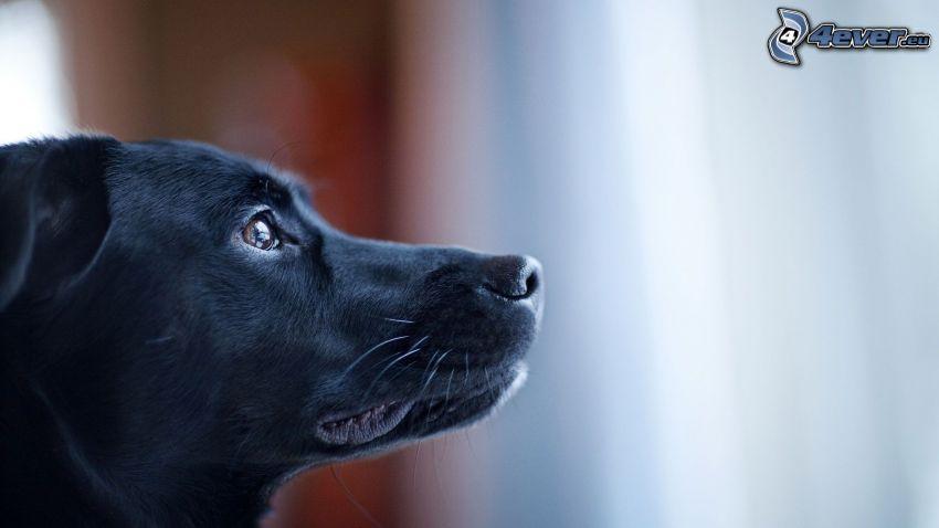 svart hund, nos